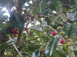 World Famous Blue Mountain Coffee, Jamaica finest coffee