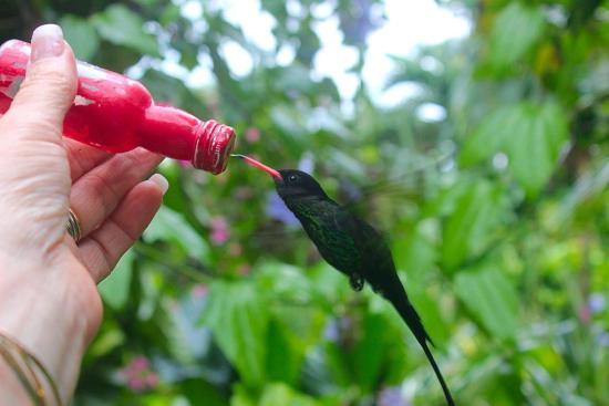 feeding a hummingbird