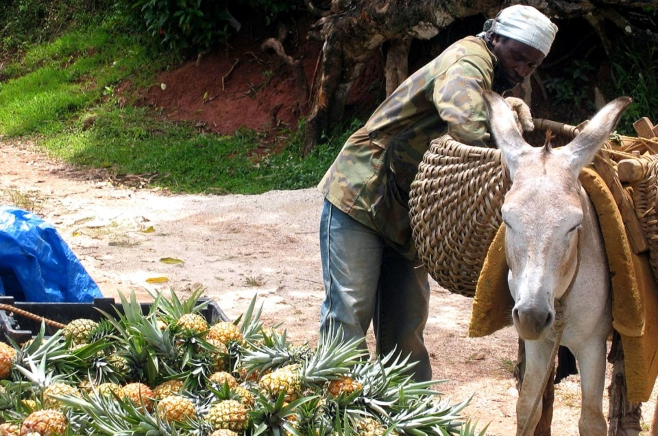 Agriculture in Jamaica: Everything You Always Wanted to Know